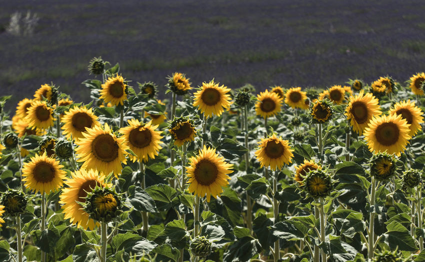 Sunflowers and a lavender field in Provence, France Flower Flowering Plant Freshness Plant Fragility Growth Vulnerability  Yellow Beauty In Nature Flower Head Field Petal Nature Land No People Close-up Day Botany Plant Stem Sunflower Outdoors Pollen Provence, France Lavender Lavender Field