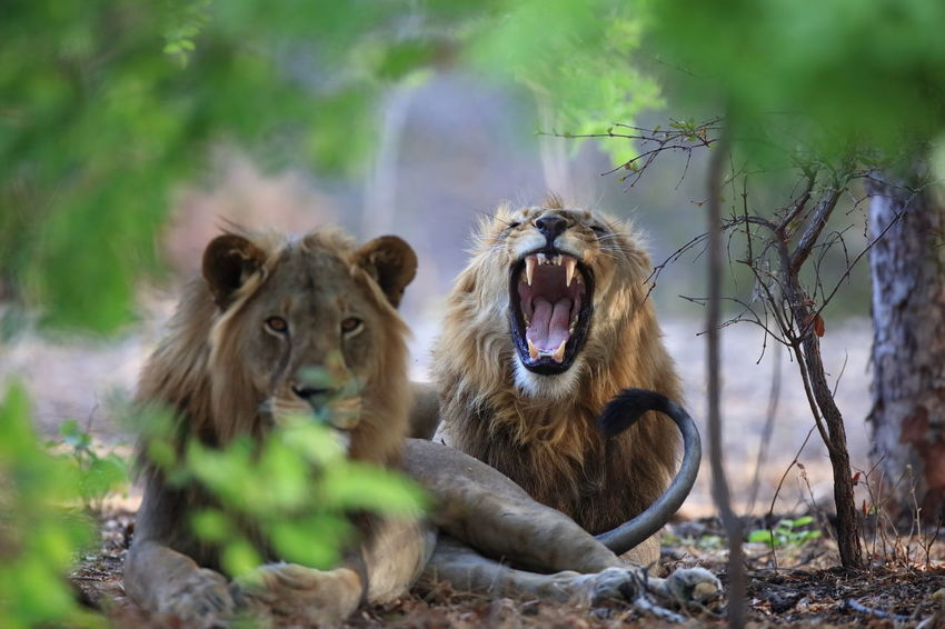 Kafue NP late afternoon Africa Agressive. Alertness Animal Family Animal Head  Animal Themes Animals In The Wild Close-up EyeEm Gallery EyeEm Nature Lover Lion Lion - Feline Looking At Camera Mammal Mouth Open Sambia Togetherness Wildlife Wildlife Photography Young Animal Two Is Better Than One