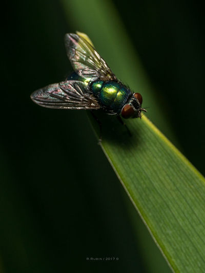 Insect Green Color Animals In The Wild Nature Animal Themes No People One Animal Close-up Outdoors Day Black Background Fly Closing Insect Photography Macro Art Is Everywhere Black Background Leaf Plant Growth