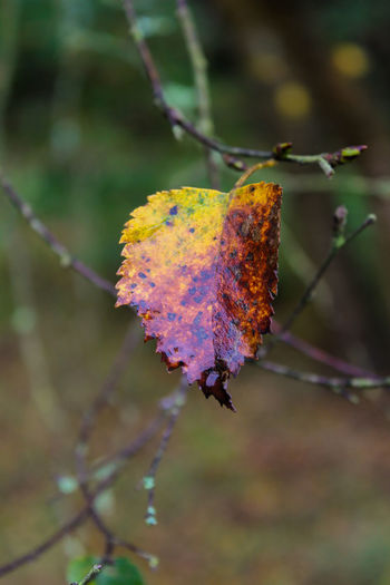 Small coloured leaf Coloured Leaf Yellow Leaf Red Leaf Autumn Fall Nature Photography Fall Collection Orange Leaves Nature_collection Autumn Leaves Winter Wintertime No People Nature Plant Focus On Foreground Day Leaf Outdoors Multi Colored Beauty In Nature Close-up Shades Of Winter