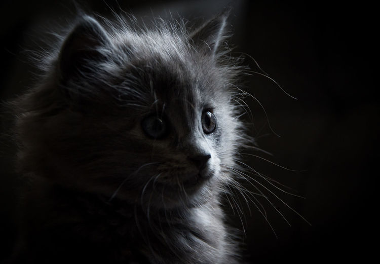 Animal Themes Black Background Close-up Day Domestic Animals Domestic Cat Feline Indoors  Mammal No People One Animal Pets Portrait Pet Portraits
