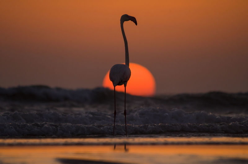 Close-up of silhouette flamingo perching on shore at beach against sky during sunset