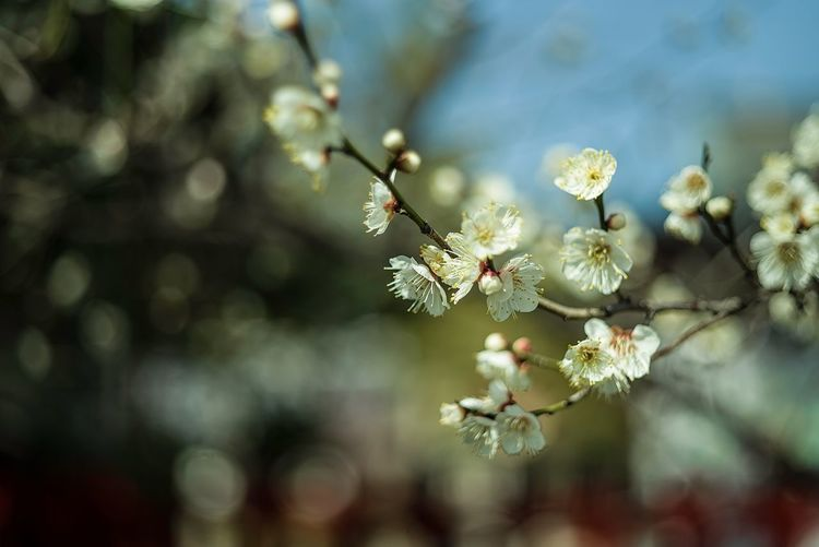Springlike Day Bokeh Photography Bokeh Japanese Apricot White Ume Blossom Ume Blossom Ume Vulnerability  Beauty In Nature Freshness Day No People Nature Tree Selective Focus Insect Outdoors Invertebrate