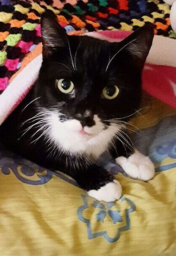 Domestic Cat I Love My Cat ❤ Cute Pets Beautiful Eyes :) My Beautiful Cat Felix ❤️ My Fur Baby