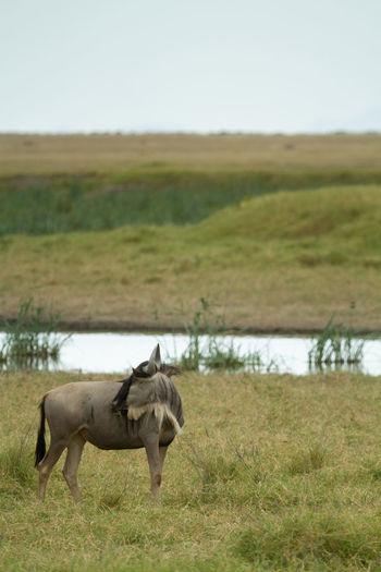 One wildebeest in a swanpy field