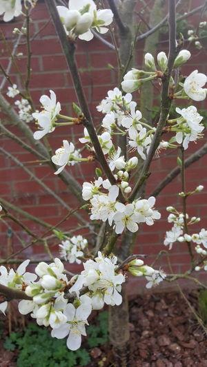 Flower Nature Freshness Springtime Branch Tree Damson Tree Damson Blossom
