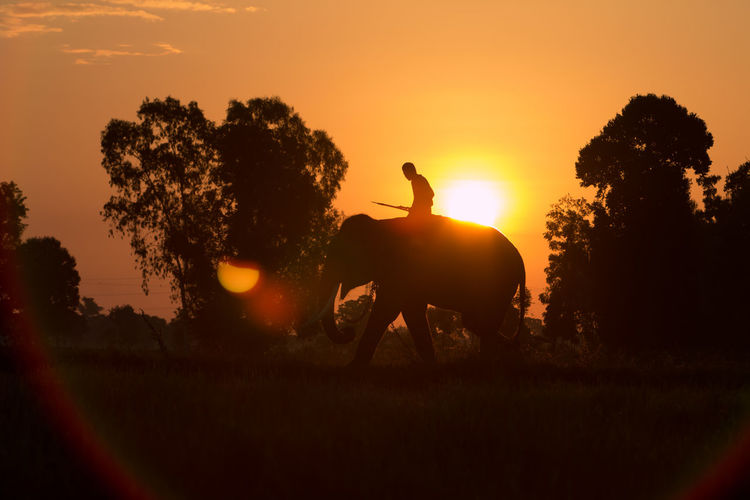 Animal Animal Themes Animal Wildlife Domestic Domestic Animals Elephant Field Herbivorous Horse Livestock Mammal Nature One Animal Orange Color Outdoors Pets Plant Riding Silhouette Sky Sun Sunset Tree Vertebrate Working Animal