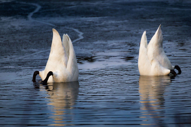 White birds foraging in lake