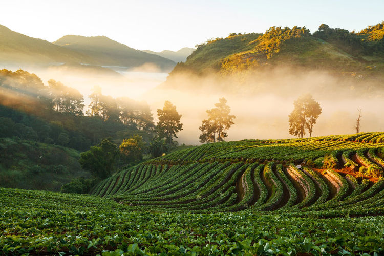 Agriculture Beauty In Nature Day Field Fog Green Color Growth Idyllic Landscape Mountain Mountain Range Nature No People Outdoors Rural Scene Scenics Sky Tea Crop Terraced Field Tranquil Scene Tranquility Tree