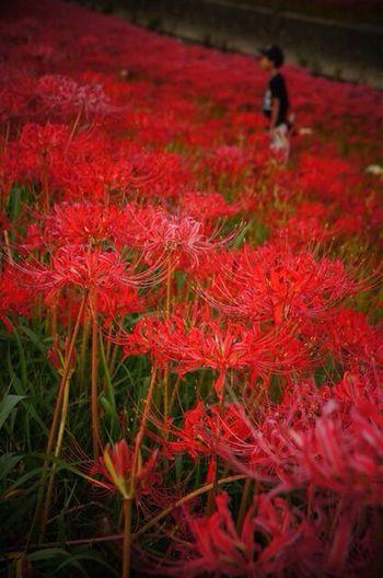 満開の曼珠沙華。好きなお花のひとつです。 Cluster Amaryllis Flowers Japan EyeEm Nature Lover