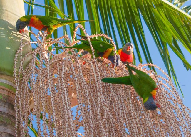 Australian rainbow lorikeets feeding on palm seeds Wilde Birds Flowering Palm Tree Native Birds Colorful Animal Wildlife Parrot Day Green Color Animals In The Wild Perching Animal Themes Nature Outdoors Beauty In Nature Palm Tree No People Bird Rainbow Lorikeet