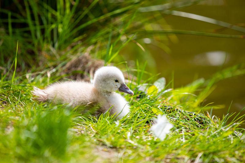 White duck in a field