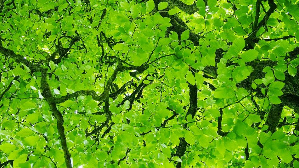 Beech Tree Beech Broadleaf Green Green Foliage Trees Foliage Beech Wood Ireland Tree Branches Beech Leaves Nature