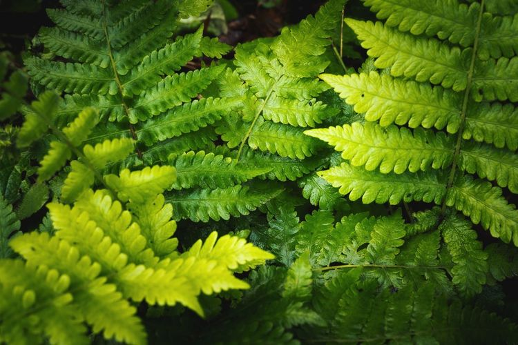 Close up of soft green ferns in morning light.