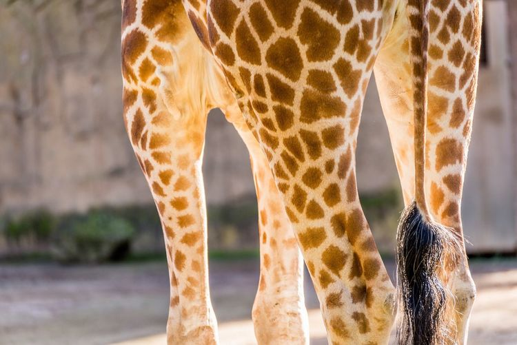 Close-up Of Giraffe Legs