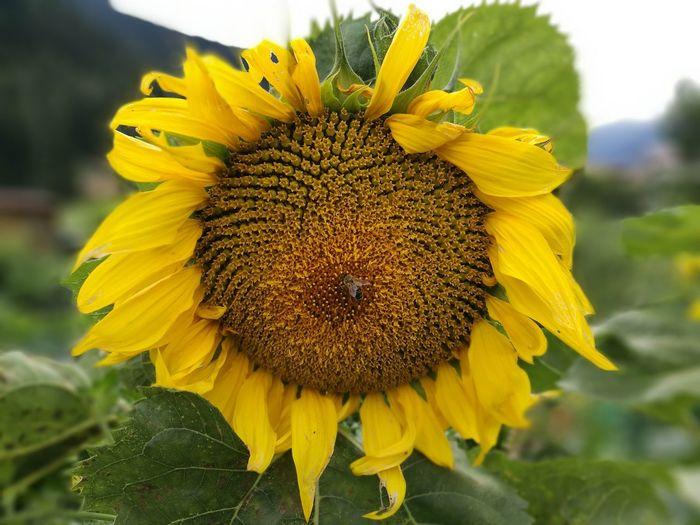 BeeWork Sunflower Girasole Flower