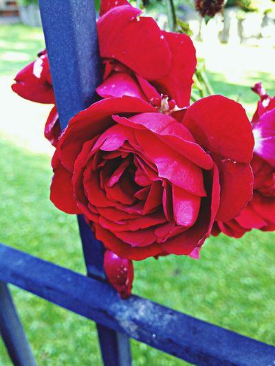 Rote Rose Nature Flowers Rosen Blumen