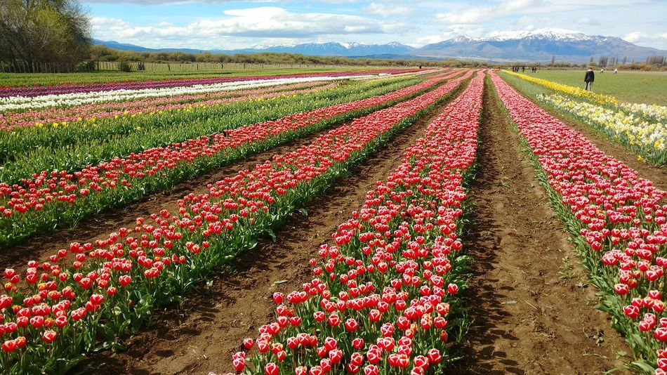 Tulips🌷 Agriculture Landscape Rural Scene Beauty In Nature FlowerIn A Row Nature Abundance Flowerbed Farm Springtime Vibrant Color Field Flores Flowers Tulips Flowers Planta Trevelin Chubut Argentina Agriculture Farm Tulipanes Tupils