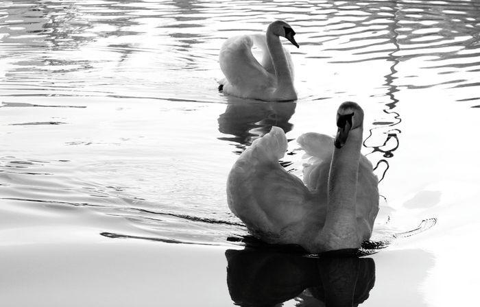Canals Canal Walks Swans Swan Lake Swan Swanlake