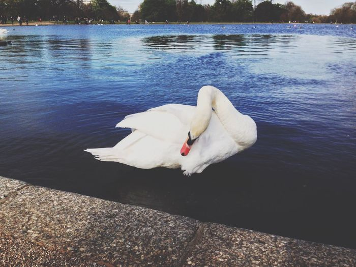 Swan Animal Themes Lake Water White Color Bird One Animal Animals In The Wild Nature Day Swimming No People Outdoors