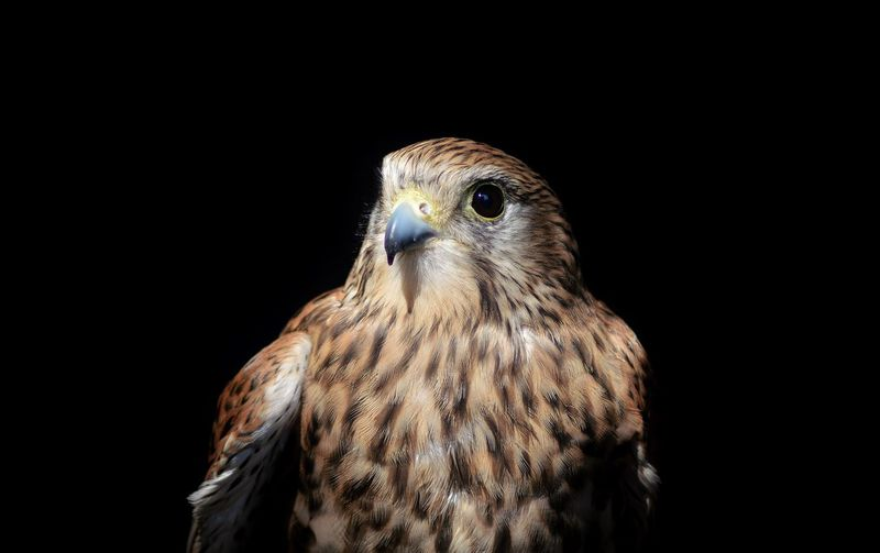 Alert sparrowhawk against black background