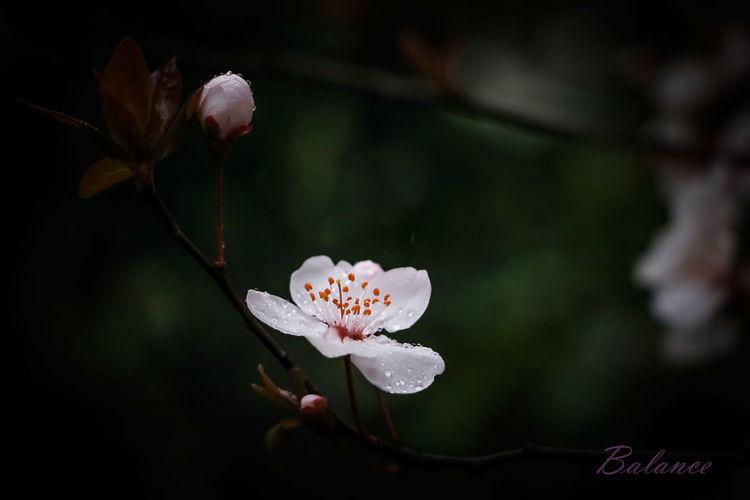 雨中花flower in