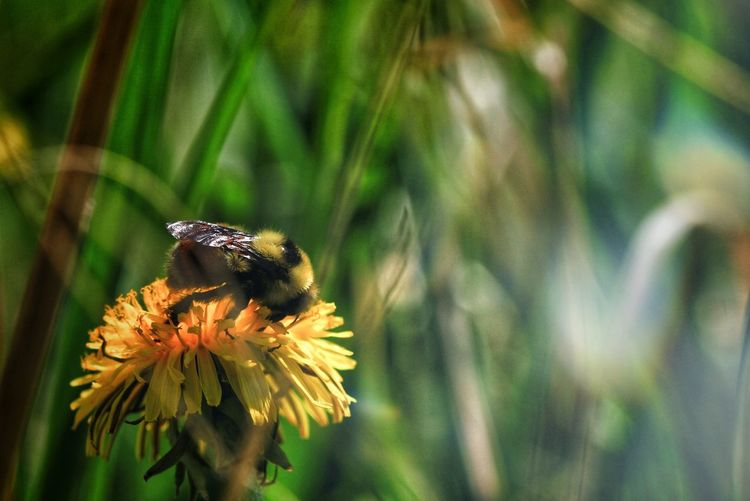 Bokehh Bee Nature Natgeo Macro Macro Photography Macro Nature Macro_collection Bokeh EyeEm Selects Perching Flower Flower Head Pollination Butterfly - Insect Insect Close-up Plant Bee Honey Bee Bumblebee Buzzing Thistle In Bloom Plant Life Flowering Plant Beehive Arthropod Honeycomb Coneflower The Great Outdoors - 2018 EyeEm Awards