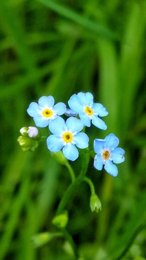 Flower Nature Blue Plant Outdoors Forget Me Not Nature Beauty In Nature