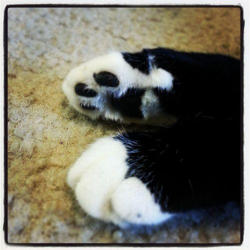 I love my feline son's paws! Paws Lovemycatteh Felinechild