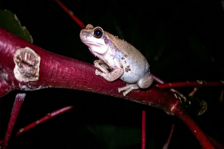 One Animal Animals Animal Themes Reptile Animals In The Wild Animal Wildlife Black Background Frog Close-up Horizontal No People Night Outdoors Brown Frog Wildlife Photography Wildlife_perfection Frog Portrait Frog Photography