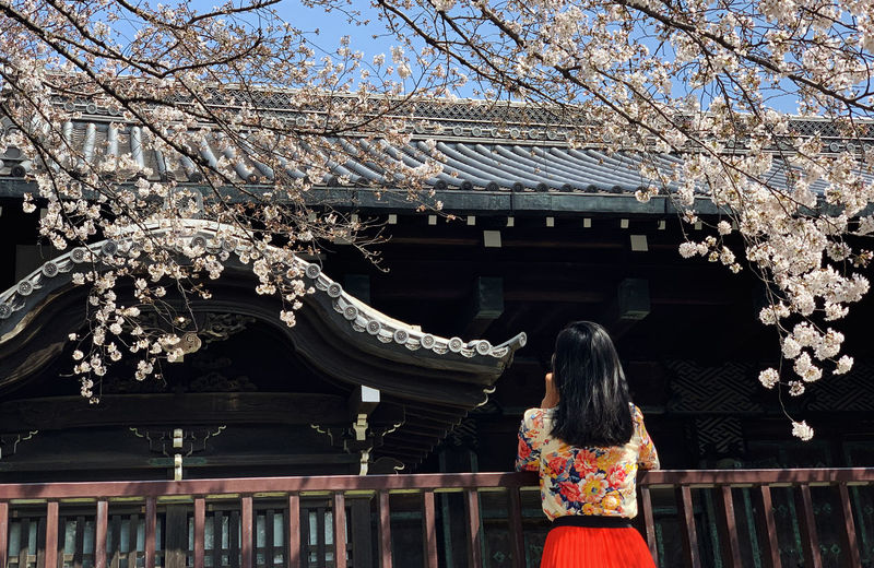 A look from behind a girl viewing fully bloomed sakura in front of a shrine in tokyo, japan
