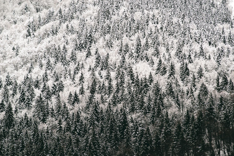 View of pine trees in forest during winter