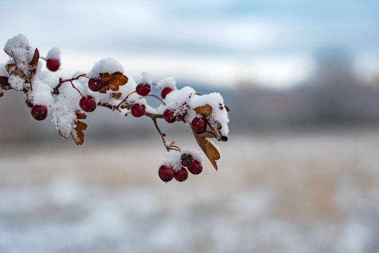 Beauty In Nature Close-up Cold Cold Temperature Day Focus On Foreground Food Freshness Frozen Fruit Nature No People Outdoors Red Rose Hip Sky Snow Tree Winter
