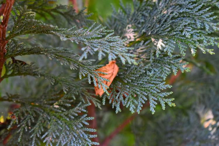 Tree Spruce