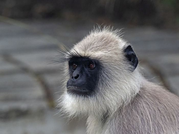 Alpha Male Southern Plains Gray Langur (Semnopithecus dussumieri) Animal Wildlife Primate One Animal Animals In The Wild Mammal Focus On Foreground Vertebrate Close-up Animal Body Part No People Looking Day Looking Away Animal Hair Portrait Baboon Animal Eye Langur