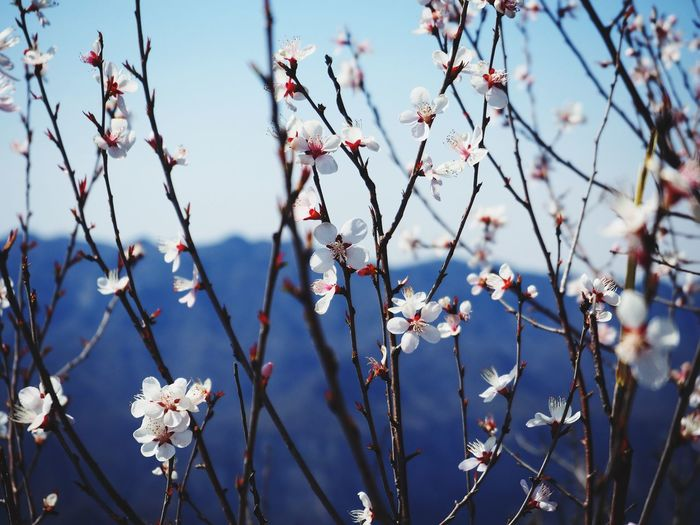 Cherry Blossoms On Sunny Day
