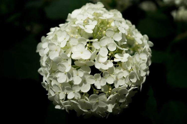 白山神社 あじさい Ajisai 紫陽花 Flowers