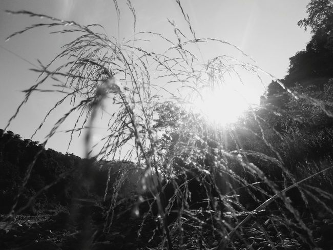Grasses And Sun Growth Daytime No People Clear Blue Sky Outdoor Photography Silhouette Nature Low Angle View