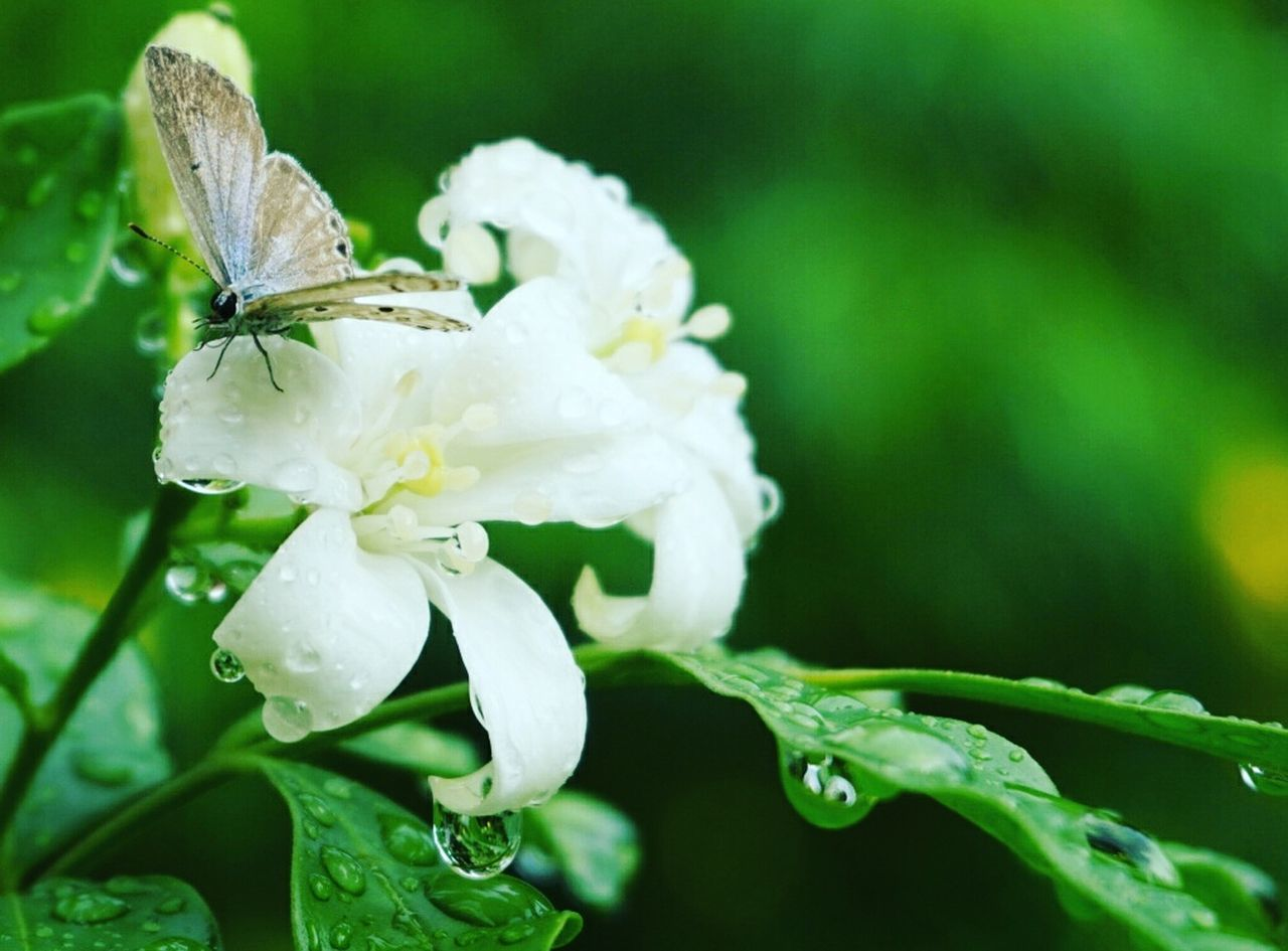 nature, one animal, flower, plant, animal themes, fragility, insect, beauty in nature, white color, petal, close-up, animals in the wild, no people, focus on foreground, growth, drop, outdoors, green color, leaf, wet, flower head, day, freshness