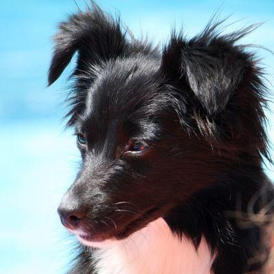 Beautiful miniature Australian Shepard Dog Puppy Miniature Australian Sheppard Blackandwhite Black White White Color Black Color