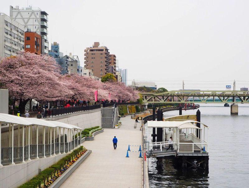 Tokyo Cherry Blossoms Sakura2016 Japan Hanami Sakura Sumida Sumidariver Asakusa River