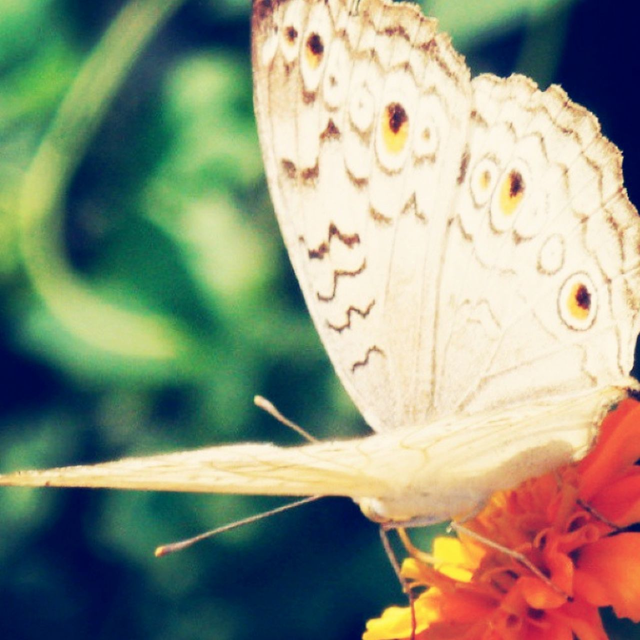 one animal, animals in the wild, animal themes, insect, butterfly - insect, close-up, nature, animal wildlife, no people, flower, outdoors, day, butterfly, beauty in nature, fragility, growth, freshness, perching, spread wings, flower head