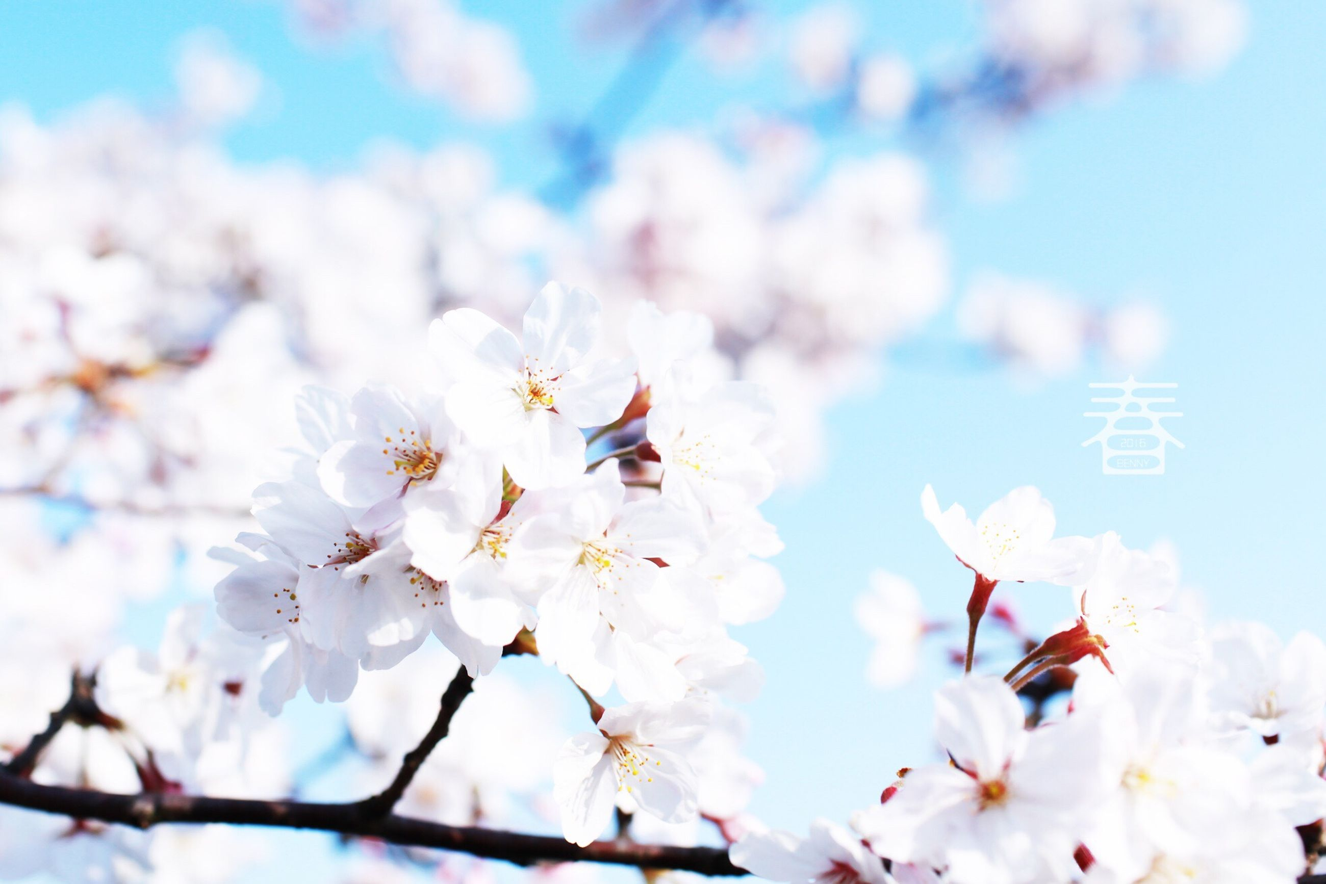 flower, freshness, fragility, cherry blossom, low angle view, petal, beauty in nature, growth, nature, sky, tree, cherry tree, blossom, white color, focus on foreground, blooming, branch, day, in bloom, springtime