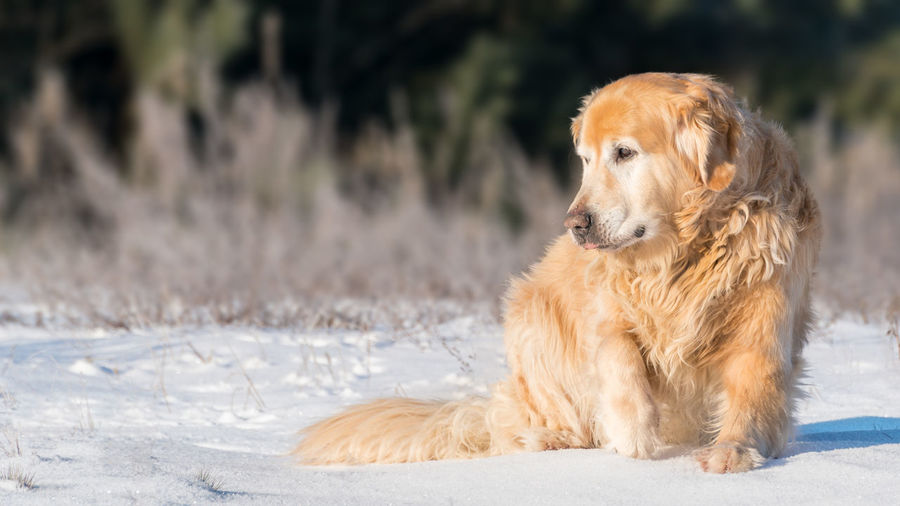 Furry lovely Golden Retriever dog sitting with dignity on a snow in a sunny winter day Animal Animal Themes Close-up Day Dog Golden Retriever No People One Animal Outdoors Pets Retriever