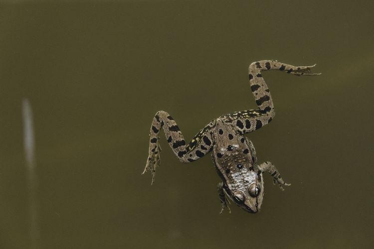 Animal Animal Themes Animals Close Up Close-up Float Frog Lake Nature No People Water Waterfront