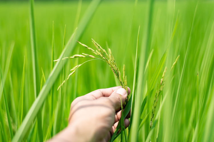 Cropped image of hand holding wheat growing on field