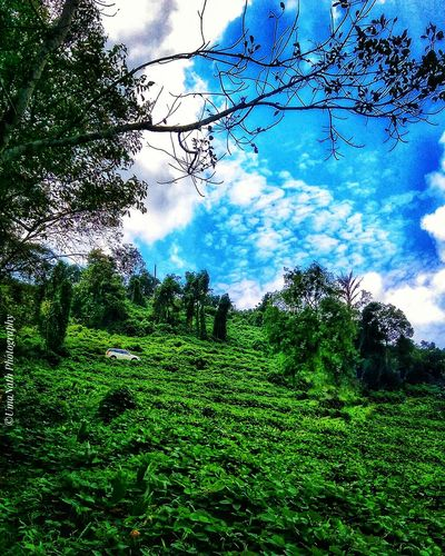 Beauty in Nature Tree Agriculture Rural Scene Field Sky Grass Green Color Plant Landscape Cloud - Sky Tea Crop Green Chinese Tea Droplet Tea Leaves Palm Frond Water Drop Young Plant Greenery Terraced Field Farmland Countryside Cultivated Land Lush Foliage Plantation Grassland Woods