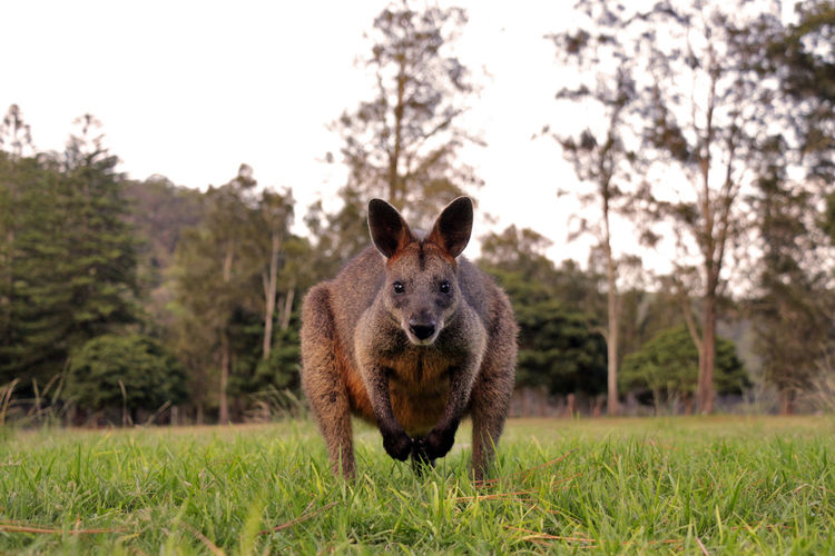 Portrait of wallaby standing on grassy field