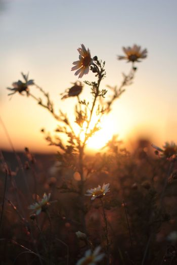 CLOSE-UP OF FLOWERS GROWING IN FIELD AT SUNSET