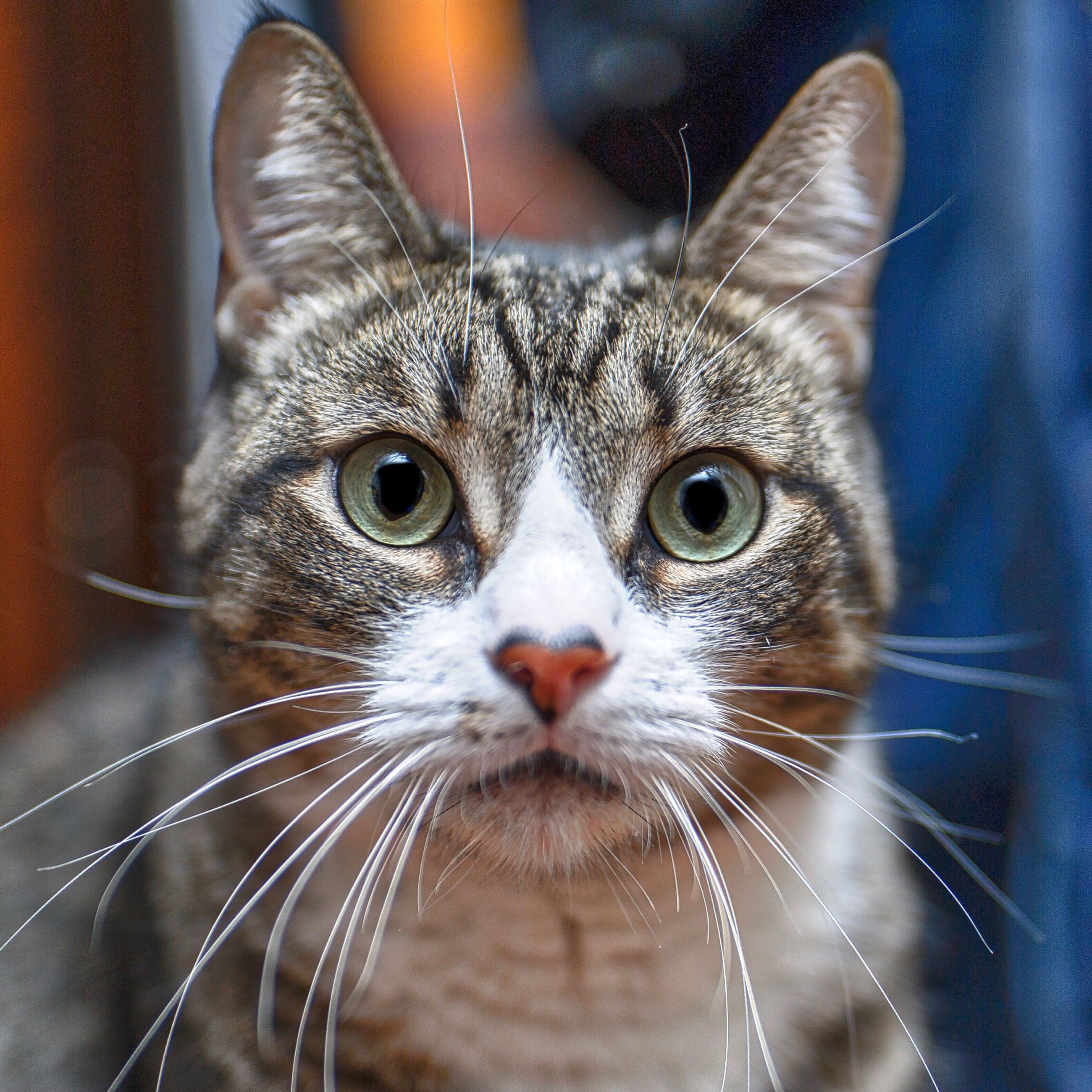 looking at camera, animal themes, domestic cat, pets, mammal, one animal, domestic animals, portrait, feline, close-up, whisker, animal body part, no people, indoors, animal eye, day